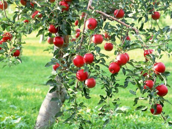apple tees that grow well in calgary